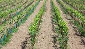 Ortaggi e colture agricole — Foto Stock
