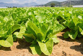Healthy lettuce growing in the soil — Stock Photo