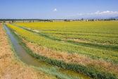 De plus en plus dans le champ de tournesols — Photo