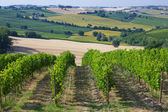 Vineyard in the summer — Foto de Stock