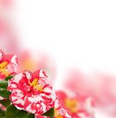 Camellia background — Stock Photo