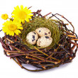 Quails Eggs - Stock Photo