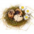 Quail's Eggs and chamomiles in a Easter Nest — Stock Photo