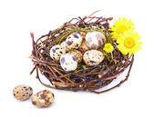 分離された巣のウズラの卵 — ストック写真