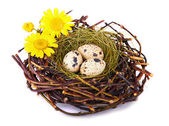 Quails Eggs — Stock Photo