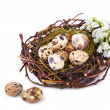 Quails Eggs  in a nest isolated — Stock Photo