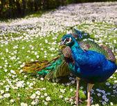 Beautiful Peacock on camomile field — Stockfoto