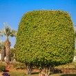 Ficus benjamina (weeping fig or ficus tree) — Stock Photo