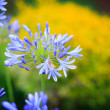 Agapanthus africanus (African lily) — Stock Photo
