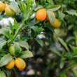 Stock Photo: Kumquat fruit