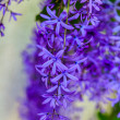 Sandpaper Vine (Petrea volubilis) — Stock Photo