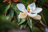 Magnolia grandiflora (southern magnolia, bull bay) — Stock Photo
