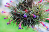 Tillandsia (air plant) — Stock Photo