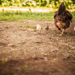 Hen and her chicks - Stock fotografie