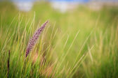 Fountain grass flower — Stock Photo