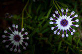 African daisy flower — Stock Photo