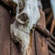 Stock Photo: Old buffalo skull