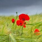 Red poppy. — Stock Photo #14368325