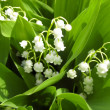 The lilies of the valley, small flowers, nature closeup — Stock Photo