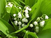 Konwalie, małe kwiaty, natura zbliżenie — Zdjęcie stockowe