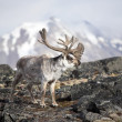 Stock Photo: Svalbard reindeer