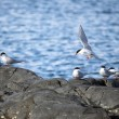 Arctic terns — Stock Photo