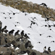 Stock Photo: Arctic birds (Little auk)