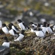 Arctic birds (Little auk) — Stock Photo #13824234