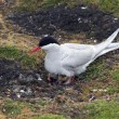 Arctic tern with chicks — Stock Photo