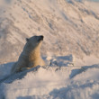 Polar bear, King of the Arctic — Stock Photo #13824410