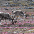 Stock Photo: Reindeer on tundra