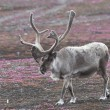 Stock Photo: Wild reindeer on tundra