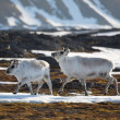Stock Photo: Reindeer, Svalbard