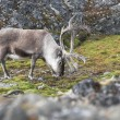 Wild reindeer — Stock Photo
