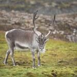 Wild reindeer — Stock Photo