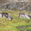 Arctic reindeers — Stock Photo