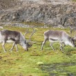 Arctic reindeers — Stock Photo #13824477