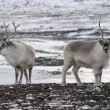 Svalbard reindeer — Stock Photo