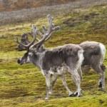 Reindeer on tundra — Stock Photo