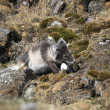 Arctic fox — Foto de stock #13824501