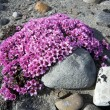 Stock Photo: Purple saxifrag- tundrflowers