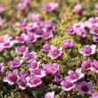 Stock Photo: Tundrflowers (Purple saxifrage)