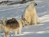 Polar bear with dogs — Stock Photo