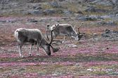 Reindeer on tundra — 图库照片