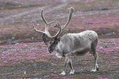 Tundra üzerinde vahşi ren geyiği — Stok fotoğraf