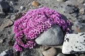 Fioletowy saxifraga - tundra kwiaty — Zdjęcie stockowe