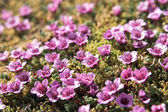 Tundra flowers (Purple saxifrage) — Stock Photo