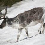 Arctic wild reindeer — Stock Photo