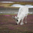 Arctic wild reindeer — Stock Photo #14688437