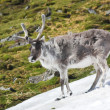 Arctic wild reindeer — Stock Photo #14688463